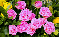 Bunch of pink roses. Beautiful bunch of pink tropical roses in the garden stock image
