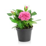 Bunch of pink roses in flowerpot. Stock Photo