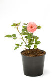 Bunch of pink roses in flowerpot. Royalty Free Stock Photo