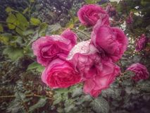 Bunch of pink roses after rain. Pink roses with raindrops artistic Royalty Free Stock Photography