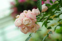 Bunch pink roses in soft blur background Stock Photography
