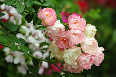 Bunch pink roses in soft blur background Royalty Free Stock Images