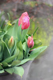 A bunch of pink tulips. Royalty Free Stock Photography