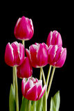 Bunch of pink tulips on black Stock Photography