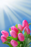 Bunch of pink tulips in the corner of blue background Stock Image