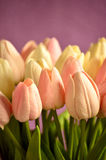 A bunch of pink and white tulips Royalty Free Stock Image