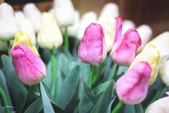 Bunch pink and white tulips. Spring landscape. royalty free stock photography