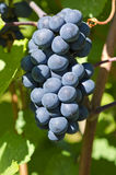 Bunch of Pinot Noir Red Wine Grape on the Vine Royalty Free Stock Image
