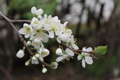 А bunch of plum tree blooming in spring. A bunch of plum tree blooming in spring with some green leaves and white flowers Stock Photo