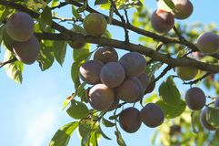 Bunch of plums. Stock Images