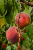 Bunch of plums Royalty Free Stock Image