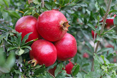 Bunch of pomegranate fruit on tree