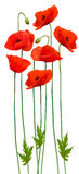 Bunch of poppies. Flower background. Stock Photos