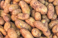 Tubers of potatoes after harvest royalty free stock photography