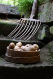 Bunch of potatoes Stock Photography