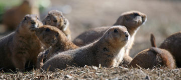 A bunch of prairie dogs. A group of prairie dogs at attention Royalty Free Stock Photos