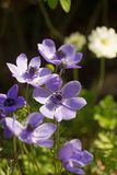 Bunch of pretty purple Anemones in full bloom with a natural garden background royalty free stock photo