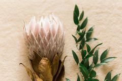 Bunch of Protea Aristata royalty free stock images