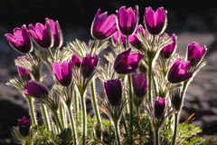 Pasque flowers in garden royalty free stock images