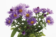 Bunch of purple autumn asters Stock Photos