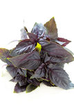 Bunch of purple basil Stock Photos