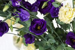 Bunch of purple and beige eustoma flowers prairie gentian on white background. Fresh open flowers and close buds on a twig. Beautiful floral background stock image