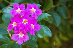 Bunch of Purple Bignonia. Flowers blooming in the garden Saea magnifica Duyand in science name royalty free stock image