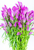 Bunch of purple cattail flower Royalty Free Stock Photo