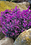 Bunch of purple flowers. A bunch of purple flowers among some stones in a garden Royalty Free Stock Images