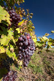 Bunch of purple grapes hang on the vine Stock Photos
