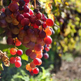 Bunch of purple grapes hang on the vine Royalty Free Stock Photography