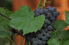 Bunch of purple grapes hanging on the vine on a background. Of green leaves Royalty Free Stock Image