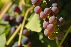Bunch of purple grapes hanging on the vine on a background. Of green leaves Stock Photos