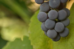 Bunch of purple grapes hanging on the vine on a background. Of green leaves Royalty Free Stock Photo
