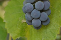 Bunch of purple grapes hanging on the vine. On a background of green leaves Stock Photos