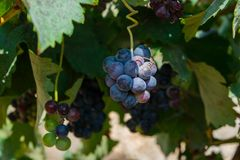 Bunch of purple grapes hanging on vine stock at wine yard, Spain. Bunch of purple grapes hanging on vine stock at wine yard, plantation in Spain Royalty Free Stock Photo