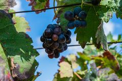 Bunch of purple grapes hanging on vine stock at wine yard, Spain. Bunch of purple grapes hanging on vine stock at wine yard, plantation in Spain Royalty Free Stock Photography