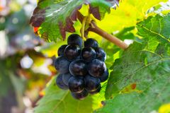 Bunch of purple grapes hanging on vine stock at wine yard, Spain. Bunch of purple grapes hanging on vine stock at wine yard, plantation in Spain Stock Photos
