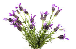 Bunch of Purple Lavender Flowers with Green Leaves Royalty Free Stock Photo