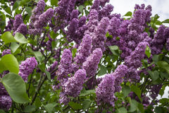 Bunch of purple lilacs Stock Photography