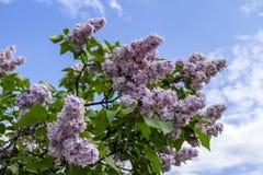 Bunch of purple lilacs Stock Photo