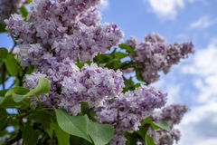 Bunch of purple lilacs Royalty Free Stock Photography