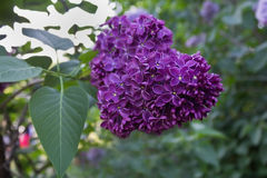 Bunch of purple lilacs Royalty Free Stock Photos