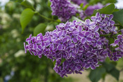 Bunch of purple lilacs. On green background macro photography Stock Image
