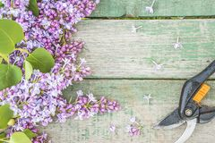 Spring gardening concept: bunch of purple lilacs and hand pruner royalty free stock photography
