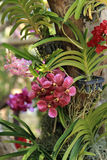 Bunch of purple red vanda orchid flower in decorative orchid garden Stock Photography