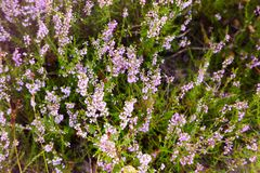 Bunch of purple scotch heather Calluna vulgaris, erica, ling bush royalty free stock photo