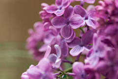 Bunch of purple spring blooming lilac flowers Royalty Free Stock Photography