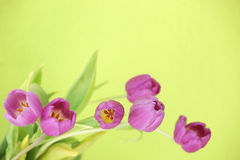 Bunch of purple tulips Royalty Free Stock Photos