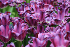 Bunch of purple tulips, close up Royalty Free Stock Image